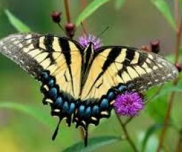 swallow.tail butterfly